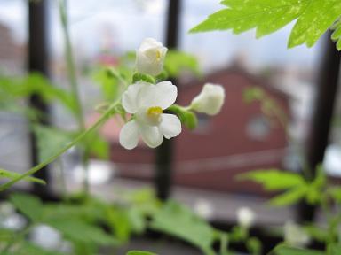 風船かずらの花♪