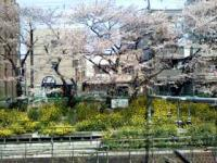 東中野駅線路沿い土手の桜と菜の花。