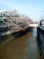 豊島園近くの石神井川沿いの桜