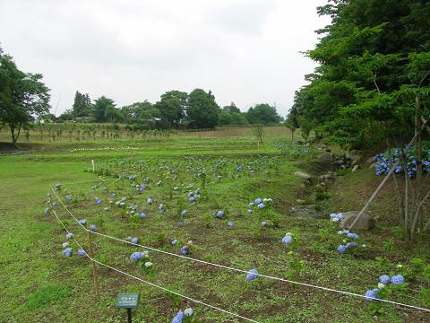 2010あじさい公園2