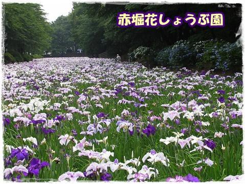 2010菖蒲2