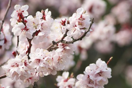 運動公園の満開の桜