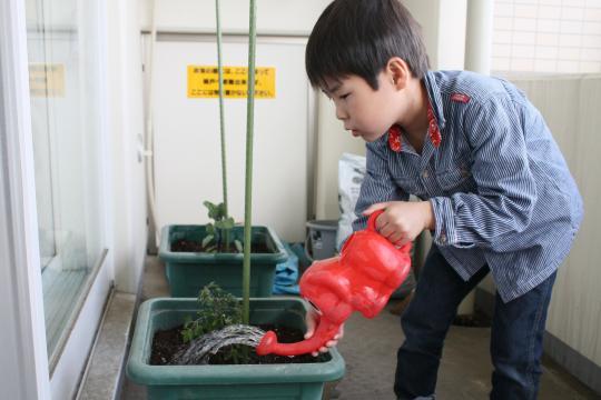 ベランダのトマトに水をやる長男