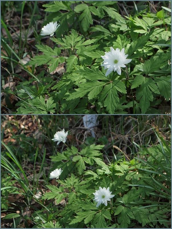 菊咲き二輪草
