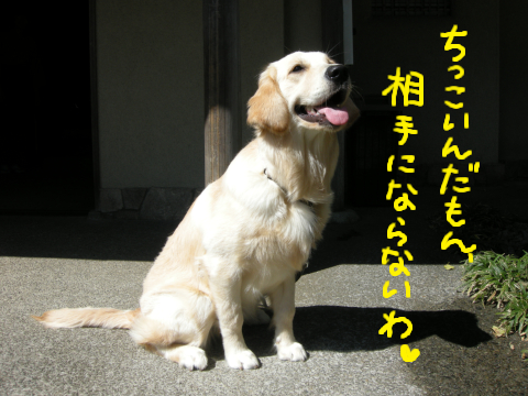 美犬の看板犬、ゴルパピの結ちゃん.