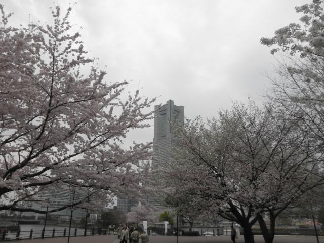 桜・桜木町20120411
