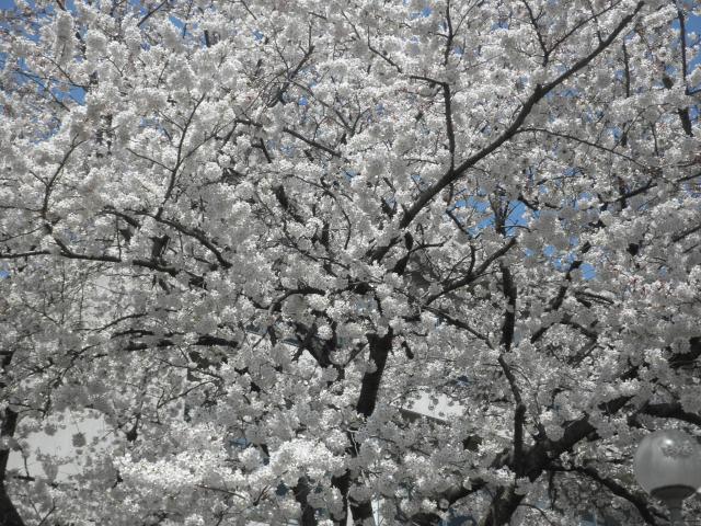 千葉・桜20120409