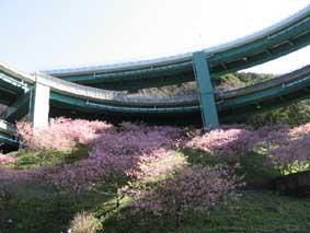 河津桜09 ループ橋