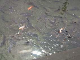 それでも鯉は鯉