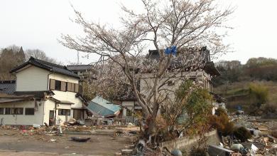 気仙沼 大島 桜