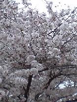 sakuImage289.jpg