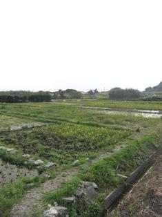 タイモ水田