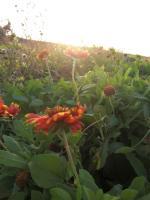 夕日と特攻花