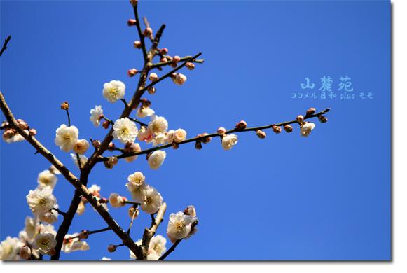 山麓苑の梅