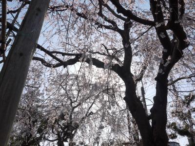 桜の木の中1
