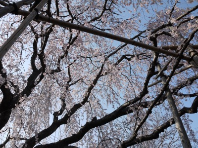桜の木の中2