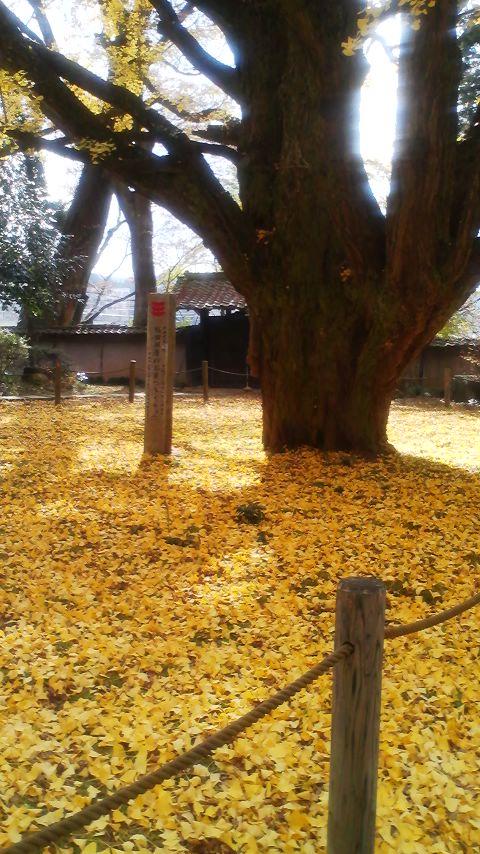 お葉つき銀杏3