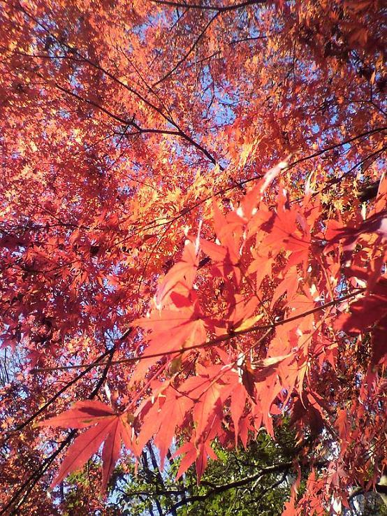 小石川紅葉