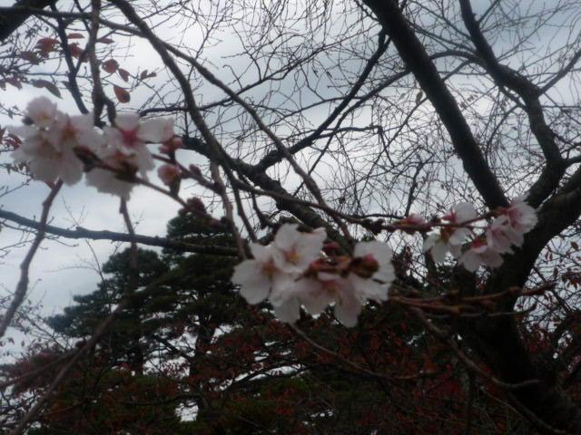 兼六園(冬桜) (2)
