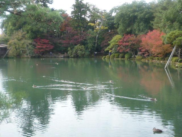 兼六園(カルガモ) (3)