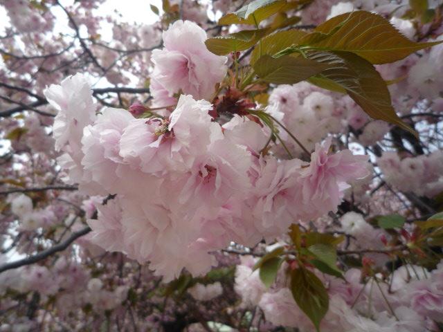 090418_お花見(バイゴジジュズカケザクラup)