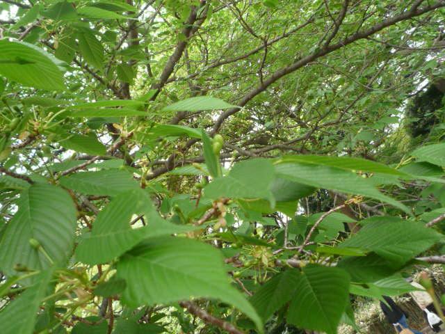 090418_お花見(新宿御苑桜の葉)