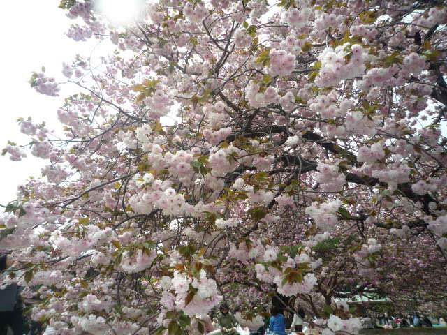 090418_お花見(新宿御苑桜2)