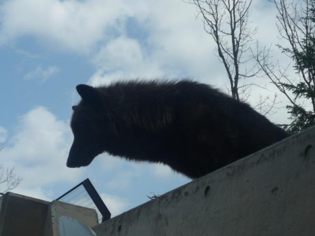 旭山動物園(オオカミ) (4)