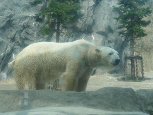 旭山動物園(ほっきょくぐま)