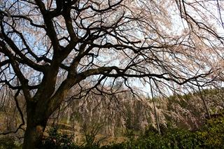 1248堀池桜3