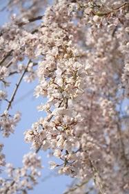 1248堀池桜2