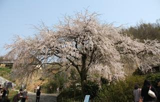 1248堀池桜1