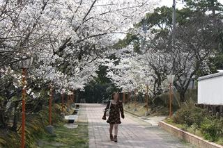 1248滝宮天満宮桜4