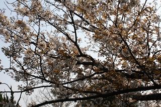 1248滝宮天満宮桜2