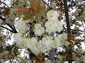 12丸亀城黄色い桜