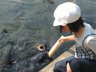 えさに群がる鯉