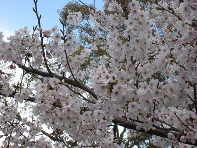 奈良の桜①