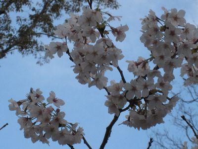 奈良の桜②