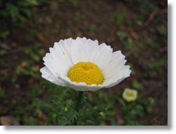 庭花ー11
