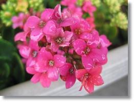 庭花ー13