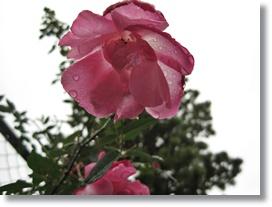 庭花ー18