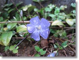 庭花ー19