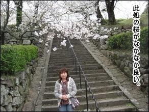 桜、綺麗です。