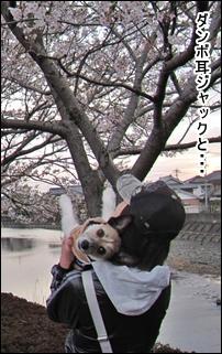 ダンボ耳ジャックと桜