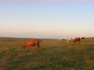 住宅区边荒野上放养的牛