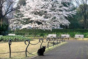 日比谷公園の桜猫