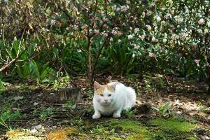 日比谷公園 ジンチョウゲと茶白猫