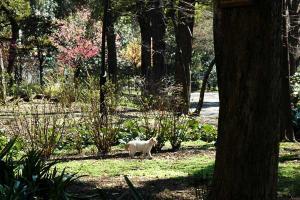 ハナモモが咲く日比谷公園の茶白猫