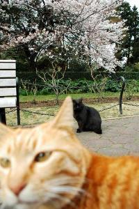 桜猫:日比谷公園の2匹の野良猫と桜(ボケ写真だけどイイ!)