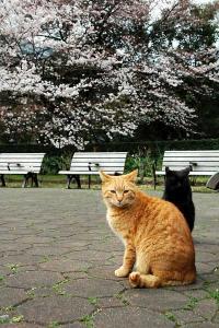 桜猫:日比谷公園の2匹の野良猫と桜